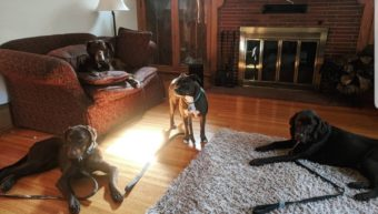 pet sitting 4 dogs, one pitbull and three chocolate labs