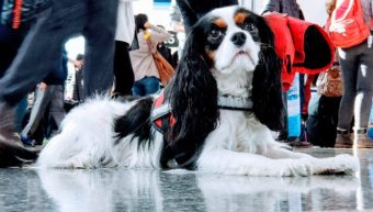 King Charles Cavalier Service Dog