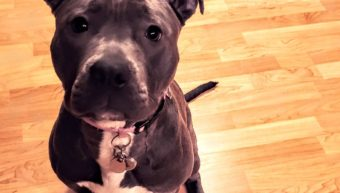 Verona Rescue Pitbull - Gates NY
