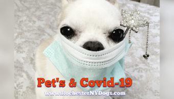 Chihuahua weaing hospital mask avoiding coronavirus