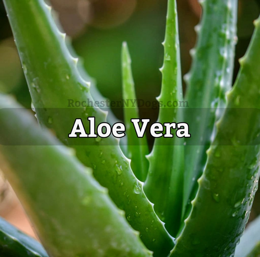 Aloe Vera Plant Toxic to Dogs, Cats, Pets