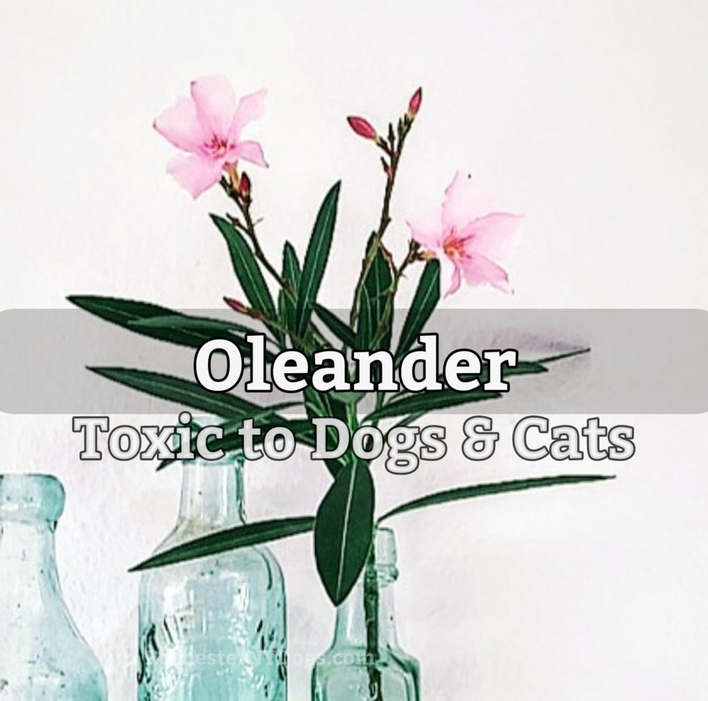 Oleander - Toxic to dogs and cats