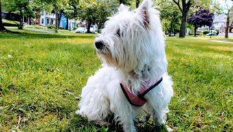 West Highland Terrier Pet Sitting in Rochester NY